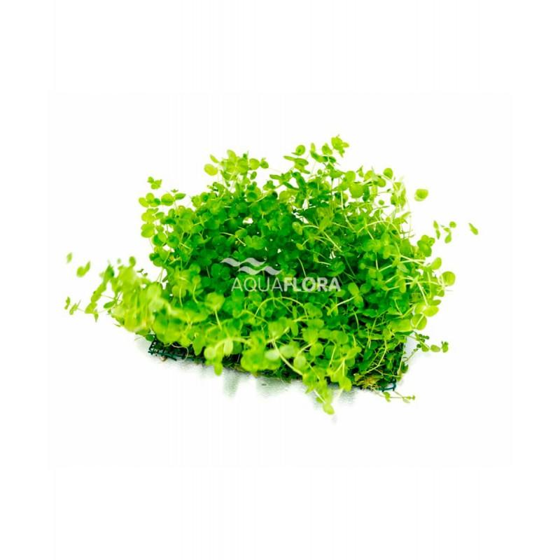 Micranthemum tappetino di prato per acquario