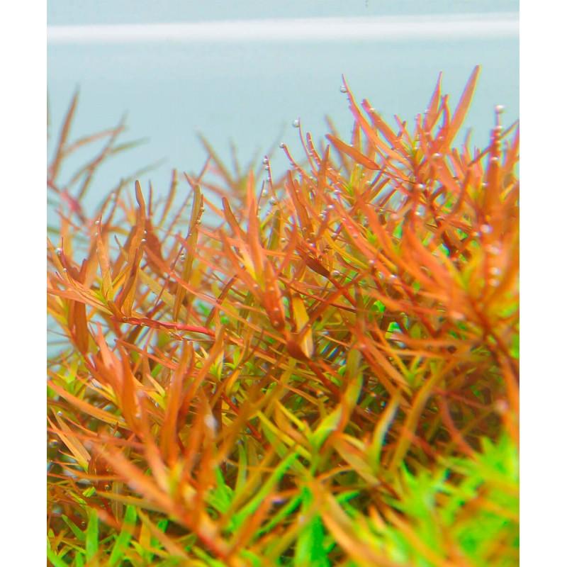 Rotala rotundifolia Vietnam H'ra