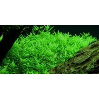 Rotala macrandra Green Verde pianta vera fronte