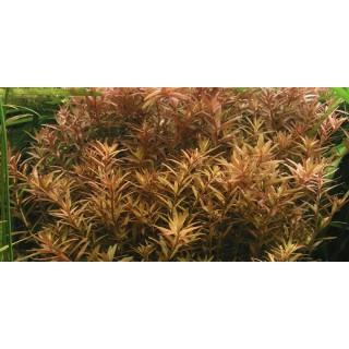 Rotala rotundifolia pianta vera