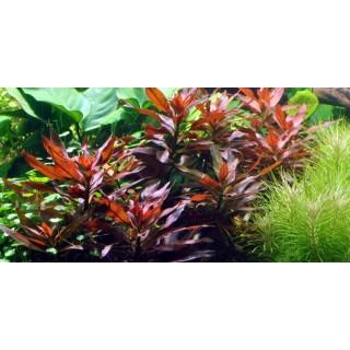 Ludwigia Glandulosa pianta vera fronte