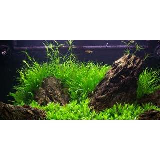 Juncus repens pianta vera in acquario
