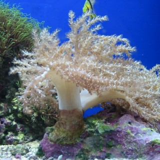 Capnella imbricata corallo vivo
