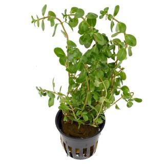 Rotala macrandra Green Verde pianta vera