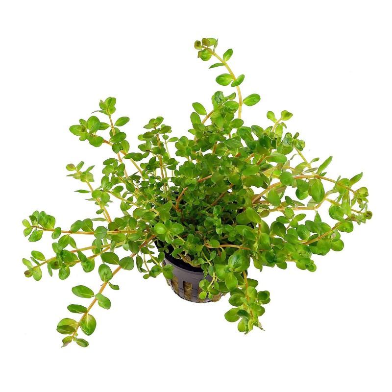 Rotala rotundifolia pianta vera fronte