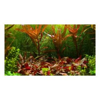 Alternanthera reineckii pianta vera in acquario retro