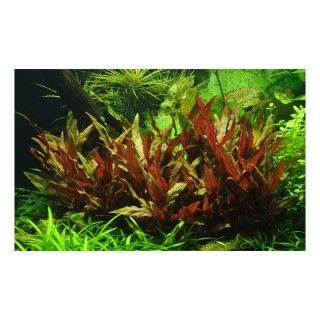 Alternanthera reineckii Rosaefolia pianta vera in acquario