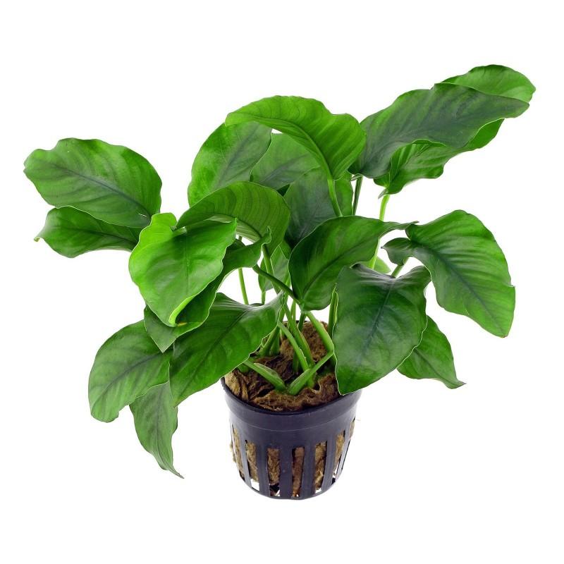 Anubias barteri pianta vera pianta vera in acquario