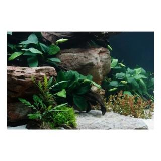 Anubias barteri pianta vera pianta vera in acquario vista