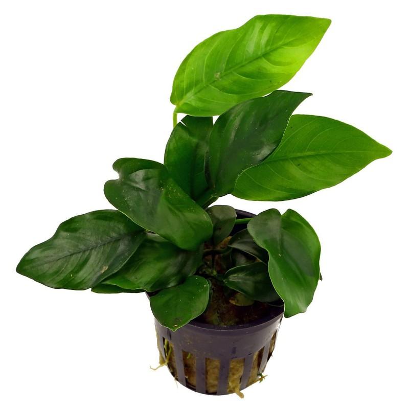 Anubias barteri nana pianta vera pianta vera