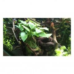 Anubias barteri nana pianta vera pianta vera in acquario