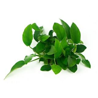Anubias barteri var Nana Bonsai pianta vera acquario