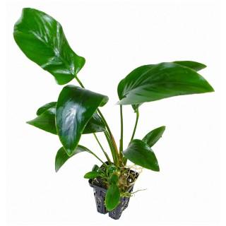 Anubias hastifolia pianta vera