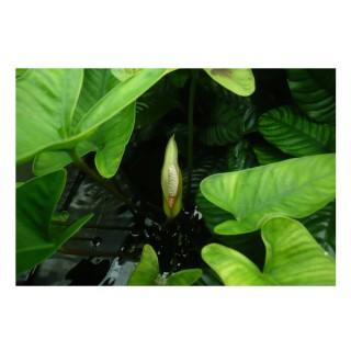 Anubias hastifolia pianta vera acquario