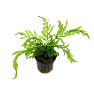 Bolbitis heudelotii pianta vera
