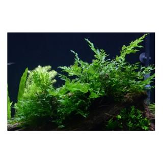 Bolbitis heudelotii pianta vera in acquario