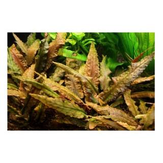 Cryptocoryne wendtii (Brown) pianta vera