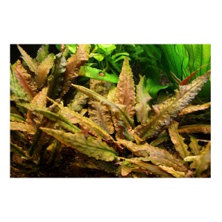 Cryptocoryne wendtii (Brown) pianta vera