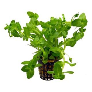 Bacopa caroliniana pianta acquario
