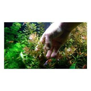 Bacopa caroliniana pianta acquario dal vivo