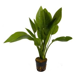 Echinodorus argentinensis pianta vera