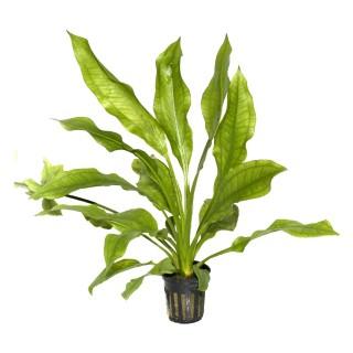 Echinodorus bleheri pianta acquario