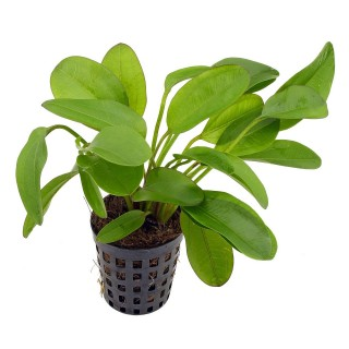 Echinodorus Dschungelstar little bear pianta acquario