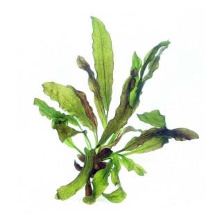 Echinodorus rubra pianta vera