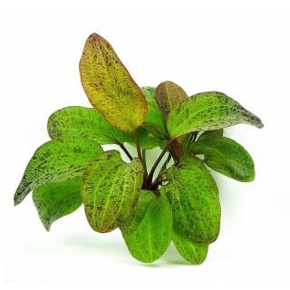Echinodorus ozelot pianta vera