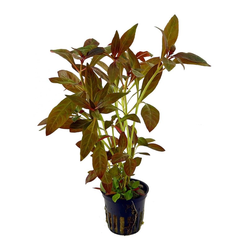 Ludwigia Glandulosa pianta vera