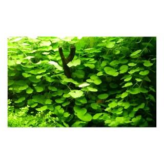 Hydrocotyle leucocephala pianta acquario