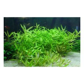 Hygrophila polysperma pianta acquario vista