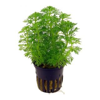 Limnophila sessiliflora Heterophylla pianta acquario