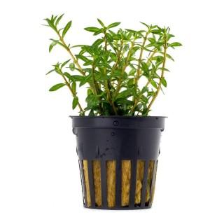 Ludwigia arcuata pianta acquario