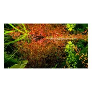 Ludwigia arcuata pianta acquario vista