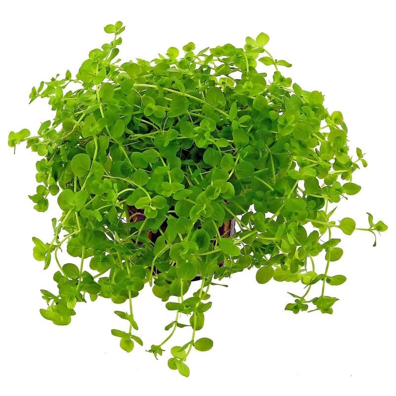 Micranthemum umbrosum pianta acquario