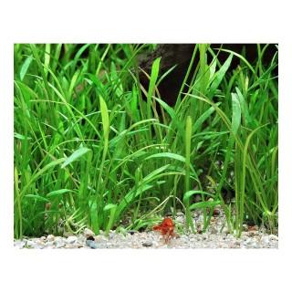 Lilaeopsis brasiliensis pianta acquario vista