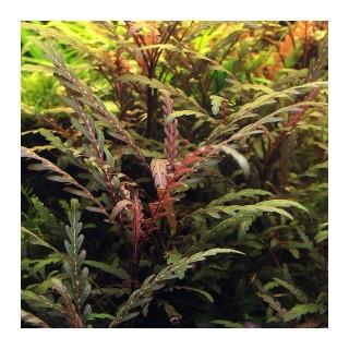 Aquaflora Hygrophila pinnatifida vista
