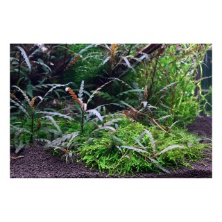 Aquaflora Hygrophila pinnatifida vasca