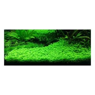 Hydrocotyle tripartita Japan pianta acquario pratino