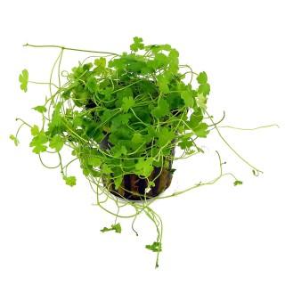 Hydrocotyle tripartita Japan pianta acquario