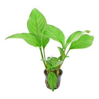 Anubias heterophylla pianta per acquario