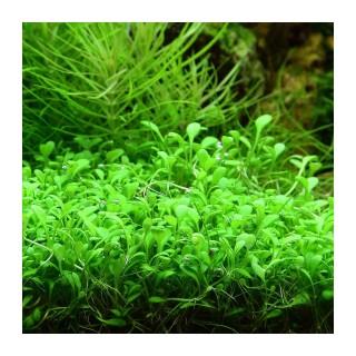Glossostigma elantinoides pianta
