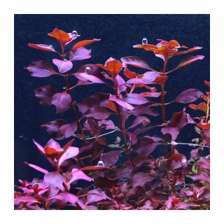 Ludwigia sp. Mini Super Red pianta acquario vista laterale