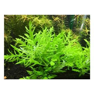 Hygrophila difformis pianta per acquario vista alto