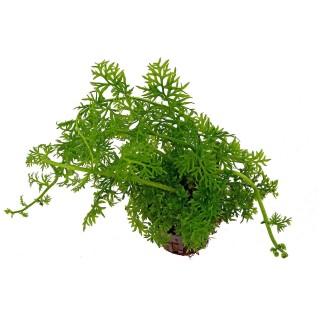 Ceratopteris thalictroides pianta acquario alto