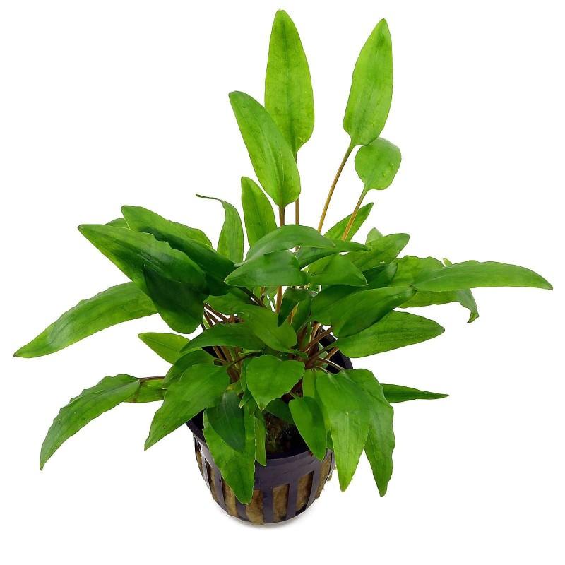 Cryptocoryne wendtii green pianta acquario