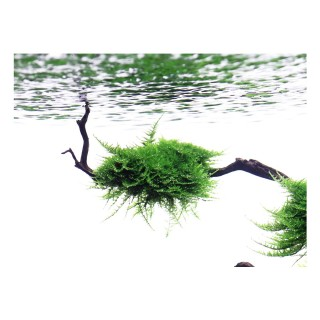 Muschio Vesicularia dubyana moss per acquario su radice