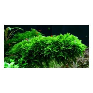Muschio Vesicularia dubyana moss per acquario esempio sul come fissarla