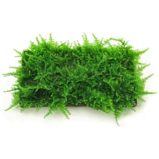 Vesicularia dubyana moss muschio in tappetino